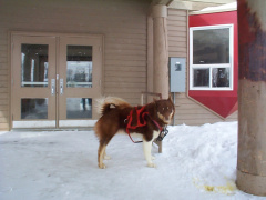 And here is one of the Dogs that is part of the dog sled expedition